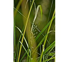 A studie of grass 6 Photographic Print