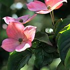 Pink Flowering Dogwood by T.J. Martin