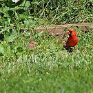 Papa Cardinal and Baby by virginian