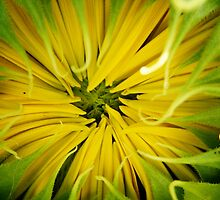 SUNFLOWER, CLOSED PETALS by Sandra  Aguirre