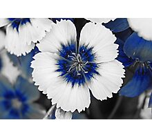 Blue & White Dianthus  Photographic Print
