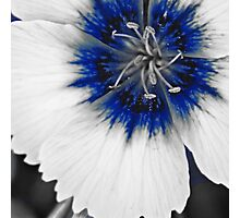 Offset Blue & White Dianthus  Photographic Print