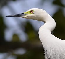 Indian White Egret....sharp image by praveenscindhya