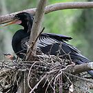 Anhinga and baby by Dennis Cheeseman