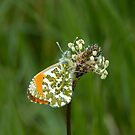 Orange-tip Butterfly by Sue Robinson