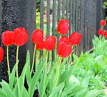 Red Tulips by the Fence by Kathleen Brant