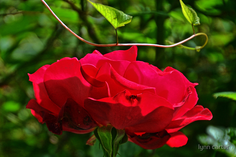 Red Roses In The Garden.......... by lynn carter