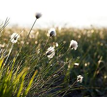 Cottongrass at Løvstakken by Algot Kristoffer Peterson