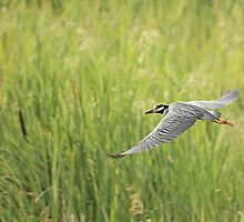 Yellow-crowned Night-Heron (Nyctanassa violacea) by Liam Wolff