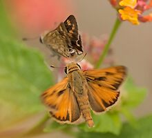 Fiery Skipper (Hylephila phyleus) by Liam Wolff