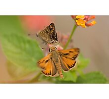 Fiery Skipper (Hylephila phyleus) Photographic Print