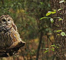 Barred Owl (Strix varia) by Liam Wolff