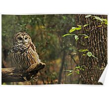 Barred Owl (Strix varia) Poster