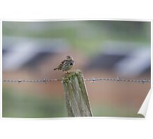 Colourful Pipit.. Poster