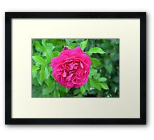 Pink rose close up and green leaves. Framed Print