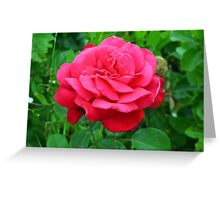 Pink rose close up and green leaves. Greeting Card