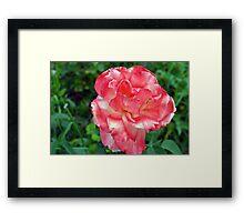 Macro on beautiful pink flower in the garden. Framed Print