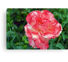 Macro on beautiful pink flower in the garden. Canvas Print