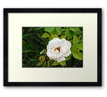 White rose and green leaves pattern. Framed Print