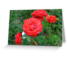 Red roses, natural background. Greeting Card