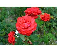 Red roses, natural background. Photographic Print