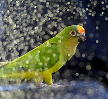 This Photo Shoot Is Fun - Peach-Fronted Conure - NZ by AndreaEL