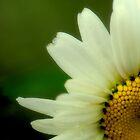 Cornered Daisy by MsKimberly