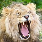 530 lion 1 by pcfyi