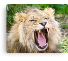 530 lion 1 Canvas Print