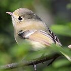 Hutton's Vireo by Carl Olsen