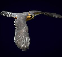 Aplomado falcon on dark background by RandyHume