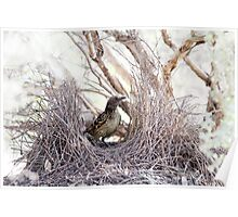 Western Bowerbird at Bower Poster