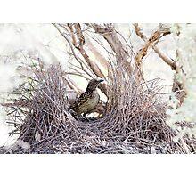 Western Bowerbird at Bower Photographic Print
