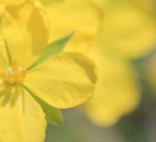 Erect Guinea-flower (Hibbertia riparia) Sticker
