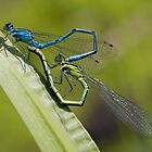 Damselflies Mating by alan tunnicliffe