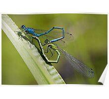 Damselflies Mating Poster