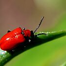 Lily Leaf Beetle by Kathleen M. Daley