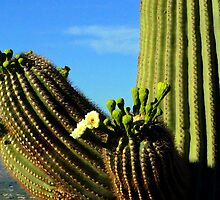 102 Saguaro Bloom by ptosis