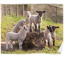 Lambs playing Poster