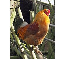 Great Big Chicken Photographic Print