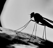 Snipe Fly Silhouette   [ PVL ] by relayer51