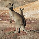 Kangaroos - White Cliffs by Marilyn Harris