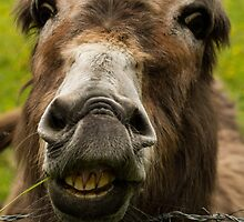Smiling Donkey by Lee  Gill
