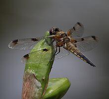Libellula quadrimaculata by Mythos57