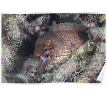 Barred-fin Moray Eel Poster