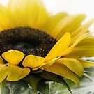 Sunflower by flashcompact