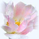 Tulip Beauty by vette
