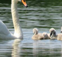 Swan and Cygnets Sticker