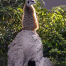Meerkat in the Sunshine...King of the Castle! by Heather Friedman