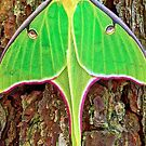 Luna Moth by cobalt-flame